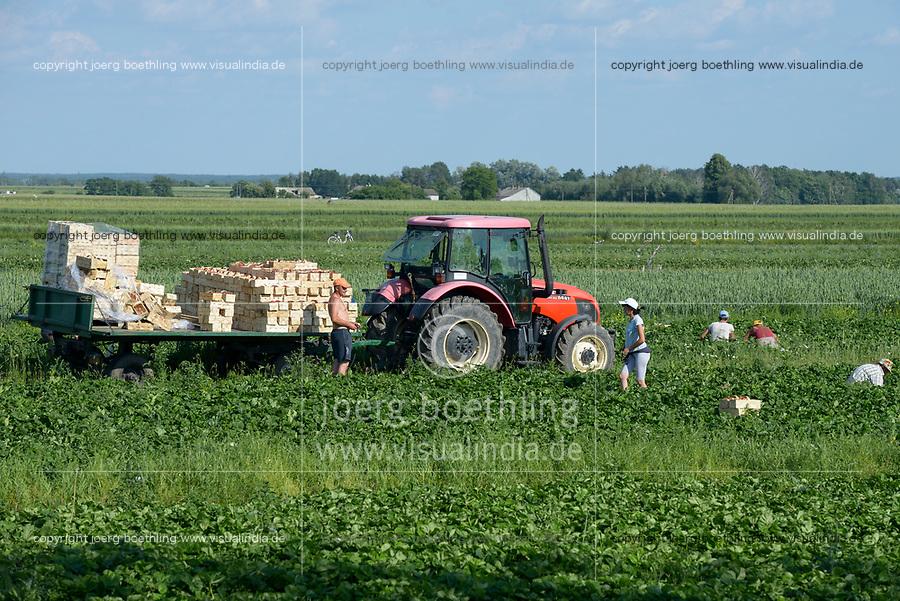 POLAND strawberry harvest, it is difficult to get worker in the agriculture as many polish going to west europe for work, strawberries in basket / POLEN, Saisonkraefte bei der Erdbeer Ernte, Erdbeeren im Korb