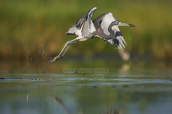 Tricolored Heron (Egretta tricolor), adult taking off, Sinton, Corpus Christi, Coastal Bend, Texas, USA
