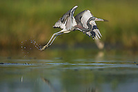 Tricolored Heron (Egretta tricolor), adult taking off, Sinton, Corpus Christi, Coastal Bend, Texas, USA
