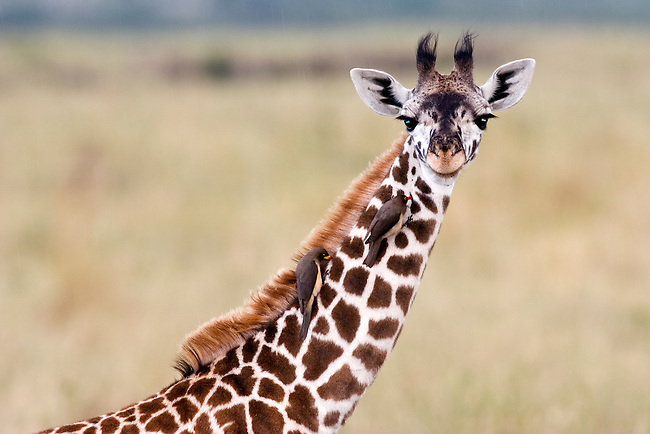 Young Masai Giraffe (Giraffe camelopardalis tippelskirchi) with Yellow-billed and red-billed Oxpeckers on its Neck, Masai Mara National Reserve, Kenya, Africa