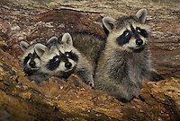 Three young raccoons look up out of hollow tree rolling their eyes