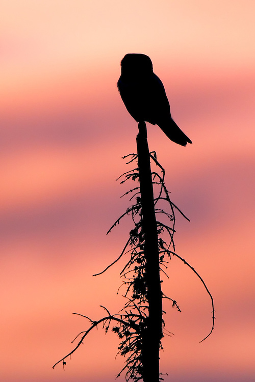 Northern Hawk Owl perched on a scorched tree during sunset