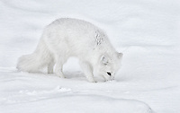 Vulpes lagopus<br /> <br /> Arctic fox hunting for rodents beneath the snow.