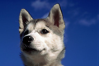 Portrait of the face of Huskie puppy.