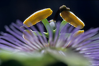 Stamen of a Passionflower (Passiflora edulis), France.