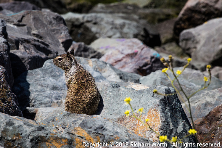 A ground squirrel pauses on the rocks and casts a sideways look