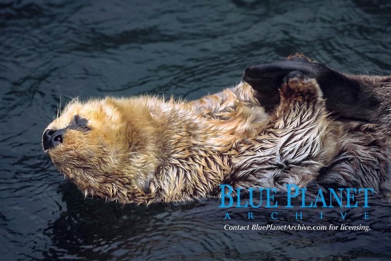 sea otter, Enhydra lutris kenyoni, Vancouver island, British Columbia, Canada