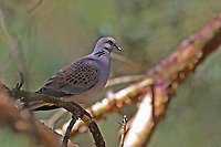 Turteltaube, Turtel-Taube, Taube, Streptopelia turtur, turtle dove, European turtle dove, La Tourterelle des bois