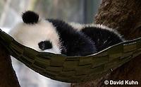 0502-1003  Sleeping Cub, Giant Panda Cub at San Diego Zoo, Ailuropoda melanoleuca  © David Kuhn/Dwight Kuhn Photography.