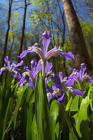 Crested dwarf iris along the Porter's Creek Trail, Great Smoky Mountains National Park