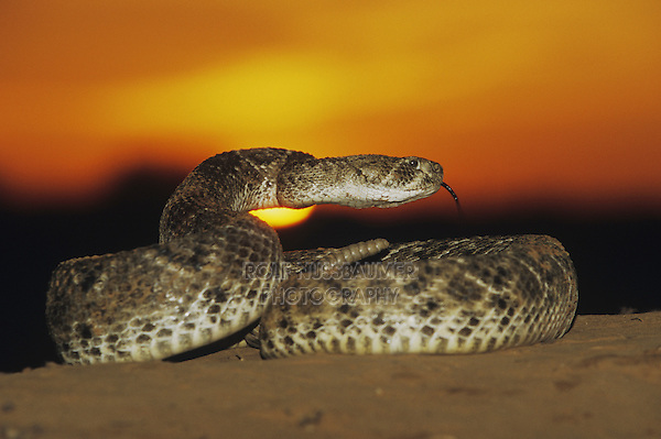 Western Diamondback Rattlesnake (Crotalus atrox), adult in defense pose at sunset, Starr County, Rio Grande Valley, Texas, USA