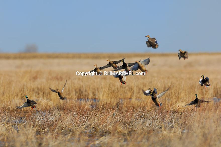 00330-072.19 Mallard Duck (DIGITAL) flock is taking flight from marsh.  Hunt, waterfowl, action, wetland.  H1F1