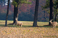 1107-0803  White-tailed Deer, Alert and Running in Autumn, Doe (Female), Odocoileus virginianus  © David Kuhn/Dwight Kuhn Photography