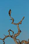 Martial Eagle (Polemaetus bellicosus) female, Kafue National Park, Zambia
