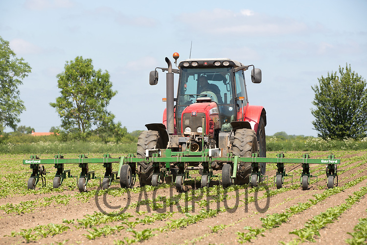 Tractor Hoeing Sugar Beet<br /> Picture Tim Scrivener 07850 303986<br /> tim@agriphoto.com<br /> ?.covering agriculture in the UK?.