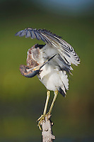 Tricolored Heron (Egretta tricolor), adult preening, Sinton, Corpus Christi, Coastal Bend, Texas, USA