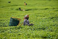 KENYA Kericho, worker pick tea leaves for Lipton tea, tea plantation of Unilever / KENIA Kericho, Frauen pfluecken Teeblaetter fuer Lipton Tee auf einer Plantage von Unilever