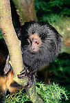 Black lion tamarin (captive)