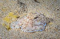 juvenile Coconut or veined octopus, Amphioctopus marginatus, Anilao, Batangas, Philippines, Pacific Ocean