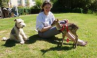 BNPS.co.uk (01202 558833)<br /> Pic: EleanorHervey-Bathurst/BNPS<br /> <br /> Eleanor bought a pet harness for Inchy as he grew bigger.<br /> <br /> Animal Magic - Eleanor Hervey-Bathurst has hand reared fallow deer buck 'Inchy' after she was abandoned by her mother shortly after being born five years ago.<br /> <br /> The beautiful animal now leads a dual life, living with the rest of its herd on the Hervey-Bathurst estate near Basingstoke most of the time, but still perfectly tame and friendly with law student Eleanor and the family terrier Greta.