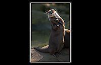Oriental Small-clawed Otter (Aonyx cinerea) - Zoological Society of London - 7th March 2010 - <br /> <br /> This female Otter named Harri, juggles a small pebble to impress the visitors