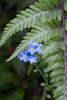 Myosotis blue flowers of forget me nots with fern Athyrium nipponicum var pictum cultivar in spring bloom, detail closeup macro