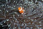 Anemone fish, Anilao, Philippines