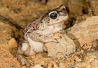 1101-0823  Adult Red-spotted Toad in Desert (Southwestern United States), Anaxyrus punctatus, formerly Bufo punctatus  © David Kuhn/Dwight Kuhn Photography.