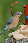 Female eastern bluebird perched next to gardening equipment