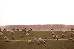 Europa, DEU, Deutschland, Nordrhein Westfalen, NRW, Rheinland, Niederrhein, Xanten, Naturschutzgebiet Xantener Altrhein, Bislicher Insel, Schafe auf dem Deich, Kategorien und Themen, Tiere, Haustiere, Nutztiere, Landwirtschaft, Agrar, Agrarwirtschaft, Natur, Naturfoto, Naturfotos, Naturfotografie, Naturphoto, Naturphotographie, Landschaft, Landschaften, Landschaftsfoto, Landschaftsfotografie, Landschaftsphoto, Landschaftsphotographie<br /> <br /> [Fuer die Nutzung gelten die jeweils gueltigen Allgemeinen Liefer-und Geschaeftsbedingungen. Nutzung nur gegen Verwendungsmeldung und Nachweis. Download der AGB unter http://www.image-box.com oder werden auf Anfrage zugesendet. Freigabe ist vorher erforderlich. Jede Nutzung des Fotos ist honorarpflichtig gemaess derzeit gueltiger MFM Liste - Kontakt, Uwe Schmid-Fotografie, Duisburg, Tel. (+49).2065.677997, <br /> archiv@image-box.com, www.image-box.com]