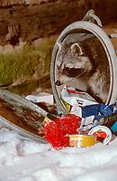 Raccoon (Procyon lotor) raids garbage can, raccoon