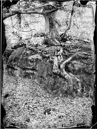Tree growing atop a rock is seen near Denecourt Trail number 8 (sentier Denecourt n°8, Le Mont-Aigu) in the Fontainebleau forest of France.