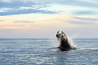 killer whale, or orca, Orcinus orca, hunting and attacking common bottlenose dolphin, Tursiops truncatus, Baja California, Mexico, Gulf of California, or Sea of Cortez, Pacific Ocean