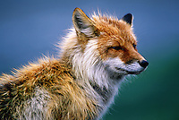 Profile portrait of a Red fox. Alaska.