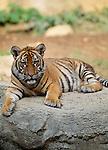 Indochinese Tiger sitting on rock. (captive)