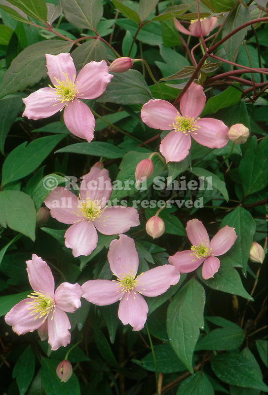 10253-CM Virgin's Bower or Vase Vine, Clematis montana `Fragrant Spring', flowers, foliage, buds, at Dayton, Oregon