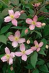 10253-CM Virgin's Bower or Vase Vine, Clematis montana `Fragrant Spring', flowers, foliage, buds, at Dayton, Oregon