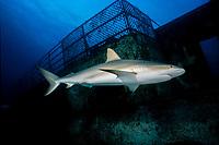 Caribbean reef shark, Carcharhinus perezii, and shipwreck, Bahamas, Caribbean Sea, Atlantic Ocean