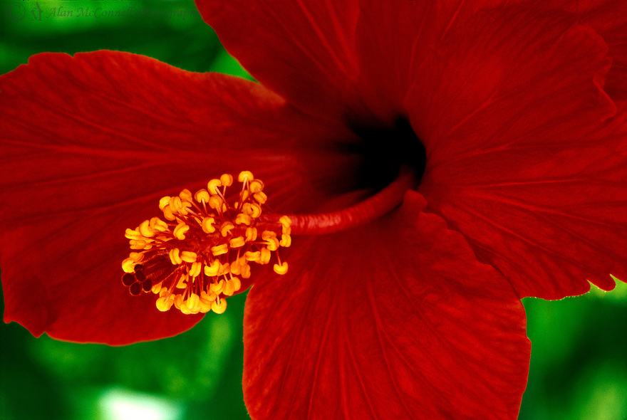 Hibiscus<br />