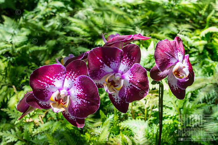 Deep purple, yellow and white orchids at the Hawaii Tropical Botanical Garden, Papa'ikou, Big Island of Hawaiʻi.