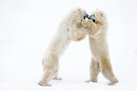 Polar bear (Ursus maritimus) males play wrestling.