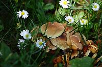 A group of mushrooms among daisies, in the spring (Paris, 2010).<br /> <br /> Un gruppo di funghi in mezzo alle margherite, in primavera (Parigi, 2010).