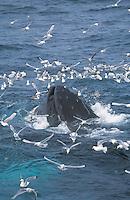 Humpback whale, Megaptera novaeangliae, Bubble net feeding, Bear Island, Arctic, Barents sea, North atlantic