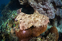 A Tasselled wobbegong, Eucrossorhinus dasypogon, lies on coral and rubble, an appropriate place to hide itself from prey. This is an ambush predator. Batanta Island, Raja Ampat, Papua, Indonesia, Pacific Ocean