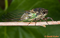 0901-0825  Dog-day Cicada, Tibicen spp.  © David Kuhn/Dwight Kuhn Photography.
