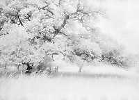 Infrared live oak, Llano, Texas.<br /> <br /> Nikon F3HP, 24mm lens, red filter, Kodak High Speed Infrared film