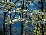 Devil's Den State Park, AR: Backlit branches of a flowering dogwood in spring forest