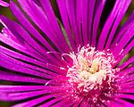 Closeup of an aster (flower).
