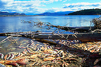 Annual Adams River Sockeye Salmon Run (Oncorhynchus nerka), Roderick Haig-Brown Provincial Park near Salmon Arm, BC, British Columbia, Canada - Dead Fish rotting along Shore of Shuswap Lake