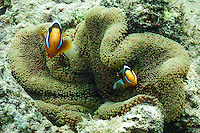 Anemonefish pair on Green Island, the Great Barrier Reef, Australia